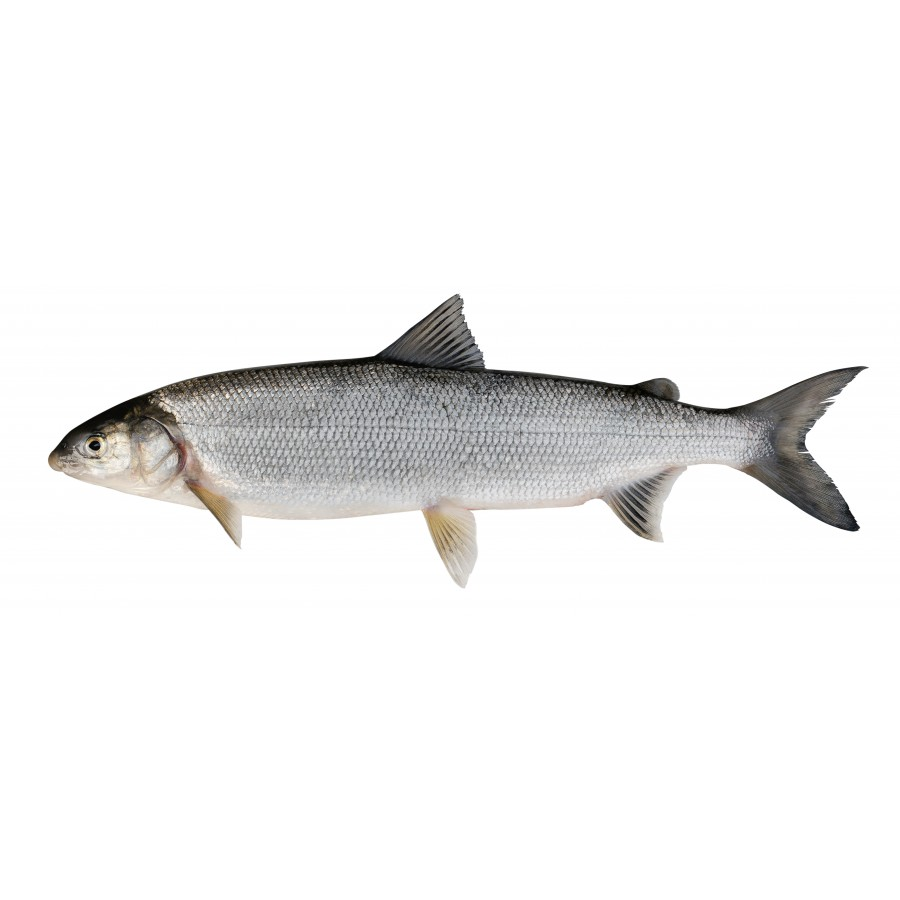 Fera du Lac 2 pièces de 400 gr (Corgonus lavaretus)