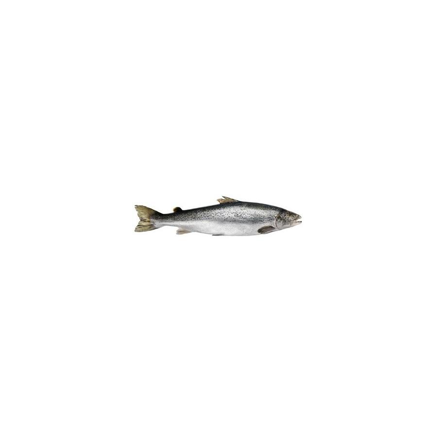 Saumon entier la piéce de 2,5 kg (Salmo salar )